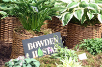 Medium bowden hostas devon original