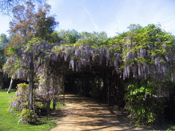 Wisteria, Rancho Los Alamitos Garden