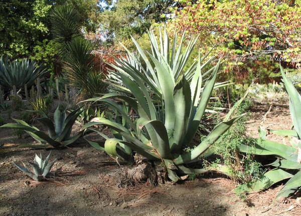 Agave, Ruth Bancroft Garden