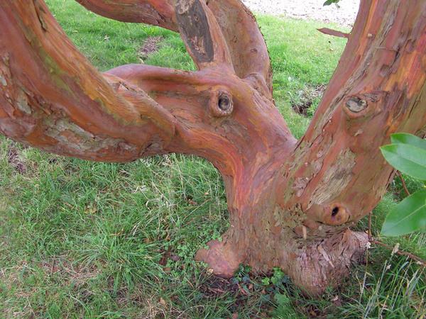 Arbutus andrachnoides, Greys Court Garden