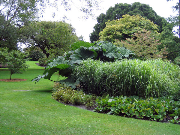 Gunnera, Royal Botanic Garden Edinburgh