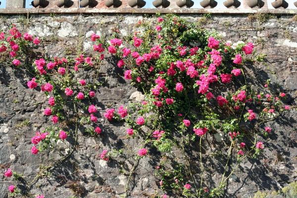 Drumlanrig Castle, Roses