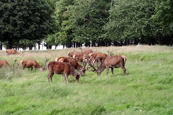 Deer, Tatton Park