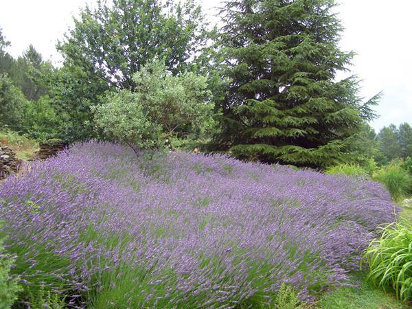 Lavender, Mas de l'Abri