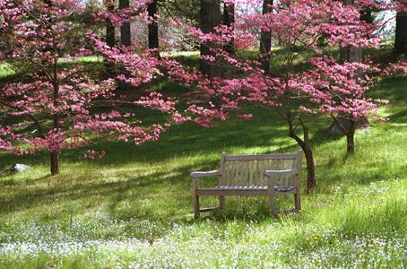 Pink Dogwoods, Tyler Arboretum