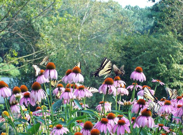Butterflies, Tyler Arboretum