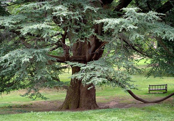 Cedar of Lebanon, Tyler Arboretum