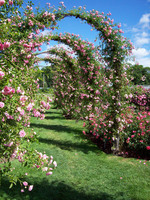 Medium elizabeth park rose garden original