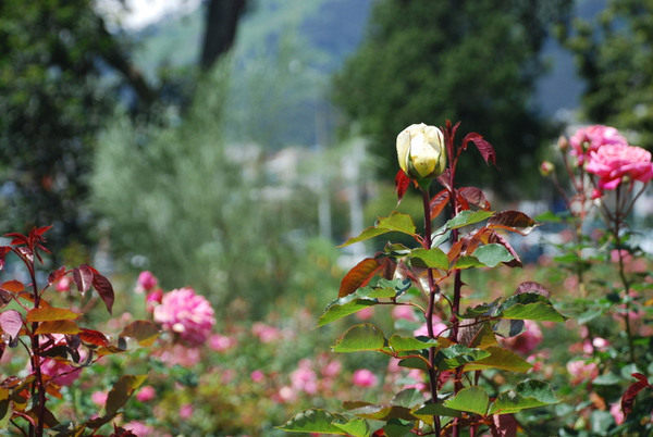 Rose Garden, Quito Botanical Gardens