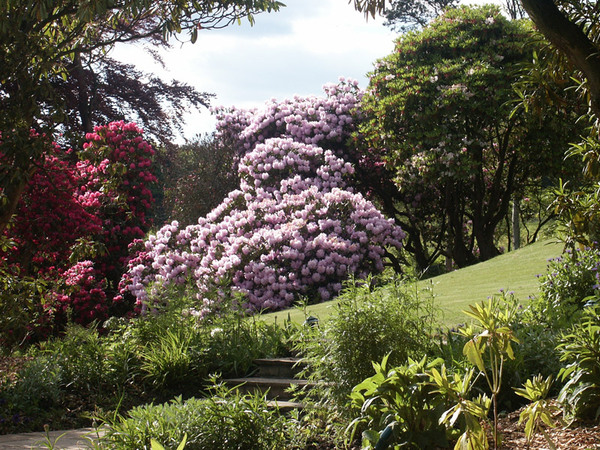 Rhododendrons, Arnot Tower Gardens
