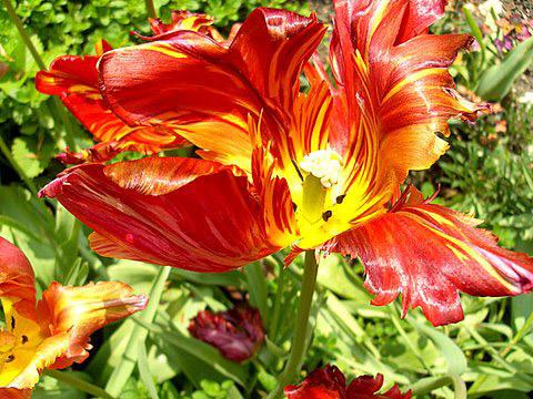 Tulips, Cerney House Gardens