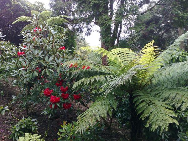 Cyathea smithii, Lamorran House Gardens
