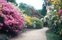 Medium leith hill rhododendron wood original