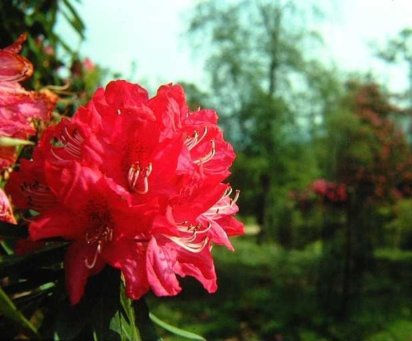 Rhododendron, Leith Hill
