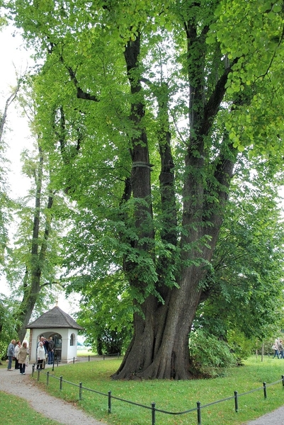 1000 year old Linden Tree