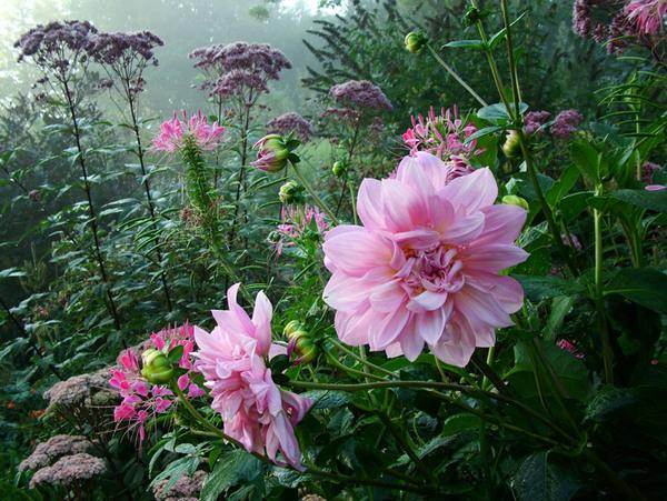 Dhalias, Stoneacre Garden