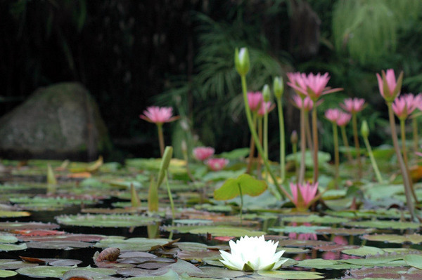 Pond, Waihi Waterlily Gardens