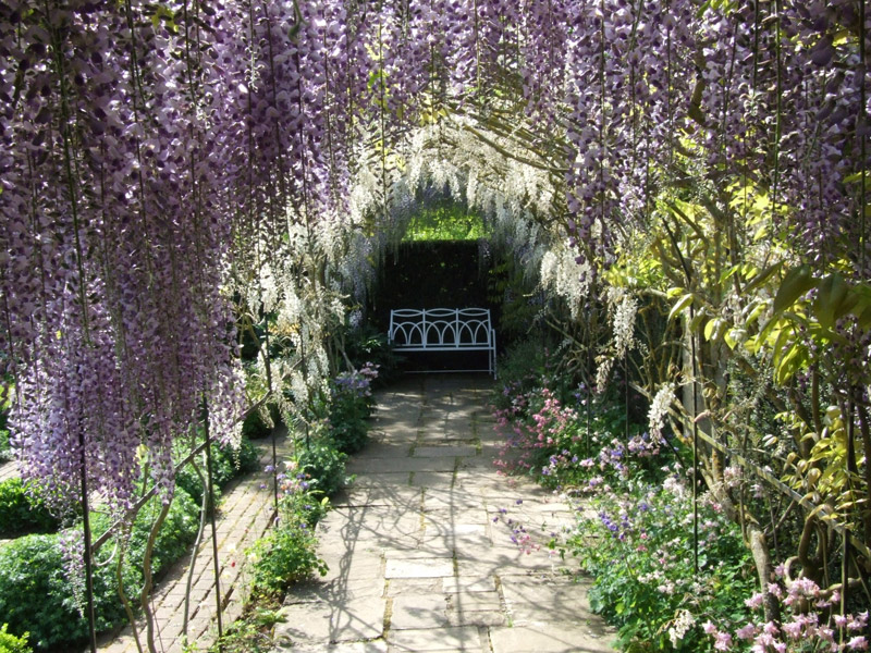 Wisteria, Waterperry Gardens