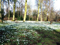 Medium hodsock priory snowdrops original