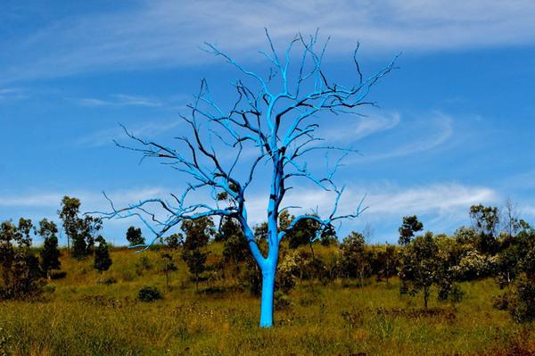 Blue Tree, Mount Annan Botanic Garden