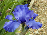 Medium the iris garden original