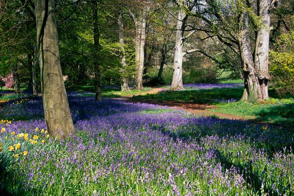 Bluebells, Thorp Perrow Arboretum