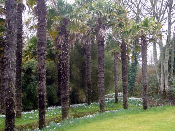 Snowdrops, Logan Botanic Garden