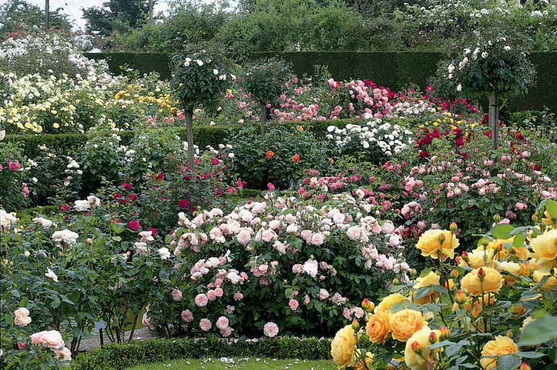 david austin rose gardens. Black Bedroom Furniture Sets. Home Design Ideas