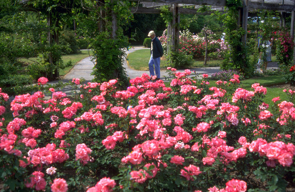 Roses, Ontario Royal Botanical Gardens