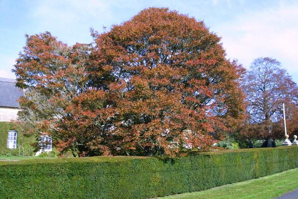 Ashridge Trees, Somerset