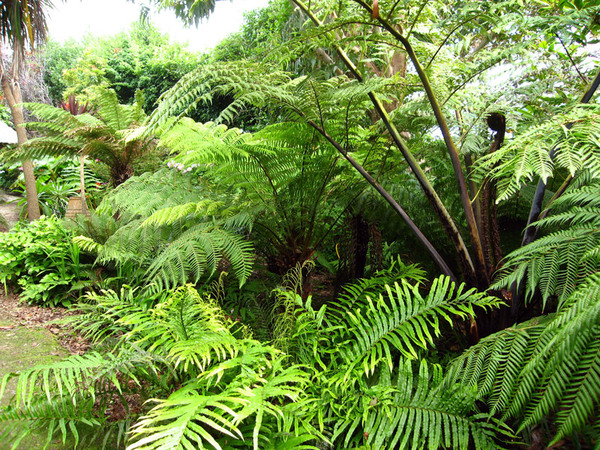 Tree Ferns, Kilravock Gardens