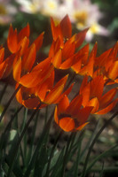 Medium cubg tulips original