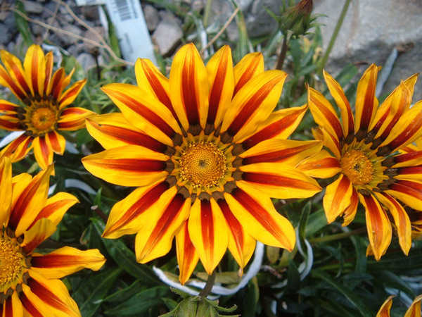 Gazania, National Botanic Garden of Wales