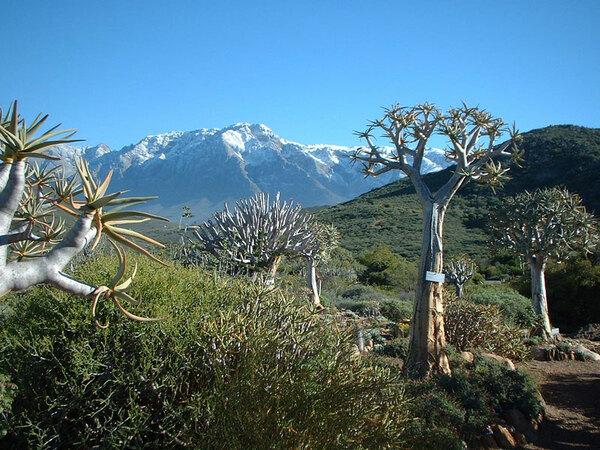 Aloe Dichotoma, Karoo Desert National Botanic Garden