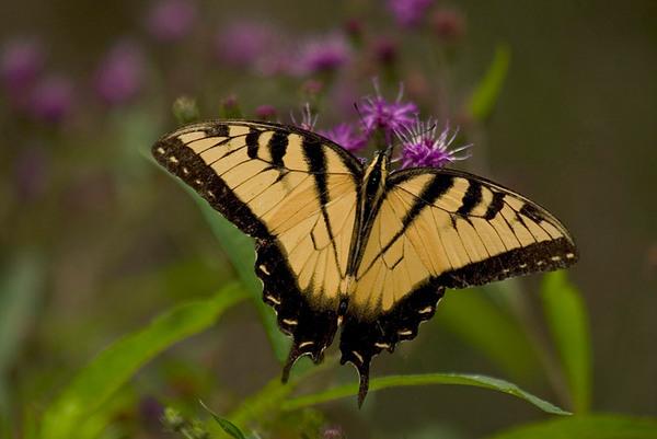 Butterfly, Callaway Gardens