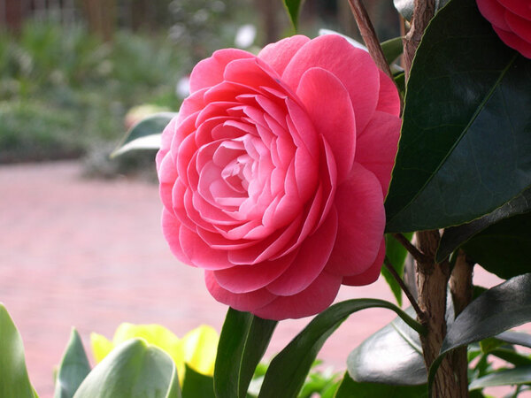 Camellia, Riverbanks Garden