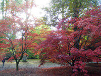 Medium westonbirt acer palmatum original