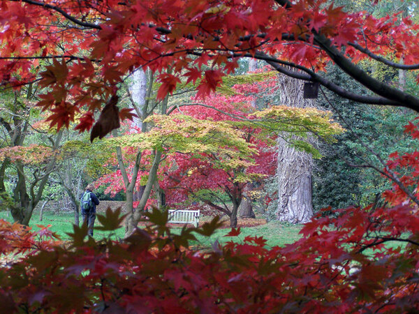 Japanese Maple, Westonbirt Arboretum