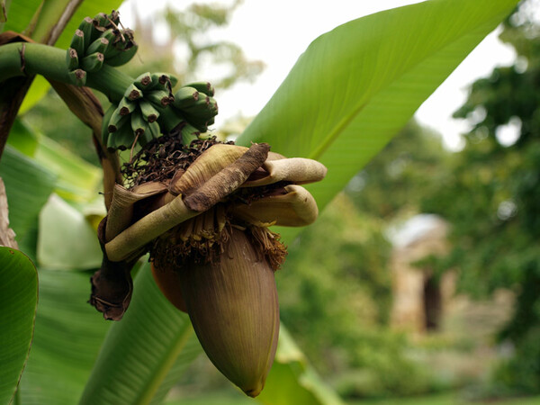 Banana Fruiting, Oxford Botanic Garden