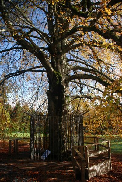 Autograph Tree, Coole Park