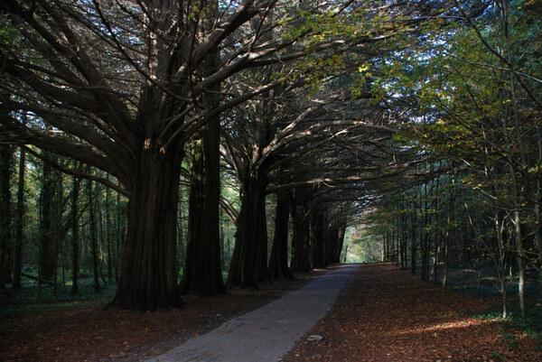 Cypress, Coole Park