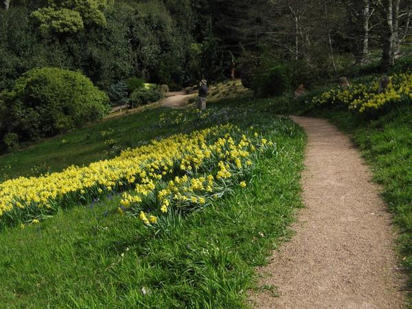 Daffodils, Cloudehill Gardens