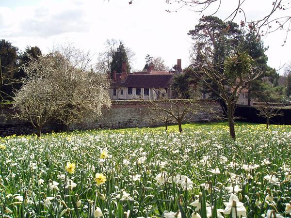 Daffodils, Ightham Mote