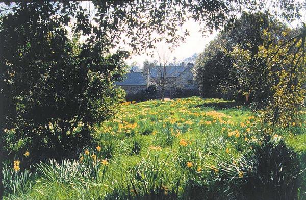 Daffodils, Cotehele Garden