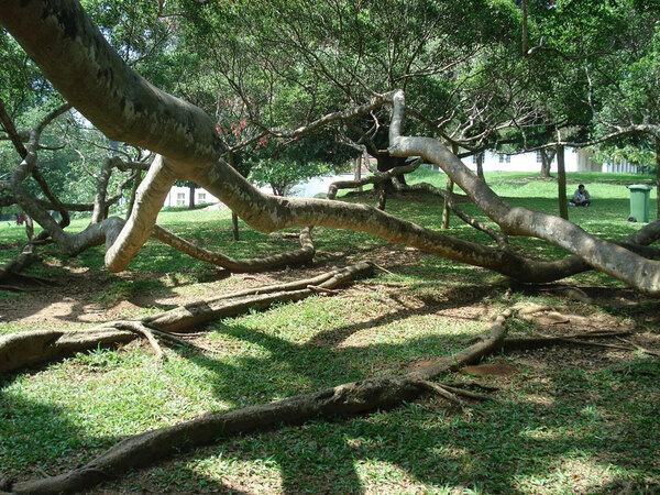 Peradeniya Botanic Gardens, Sri Lanka