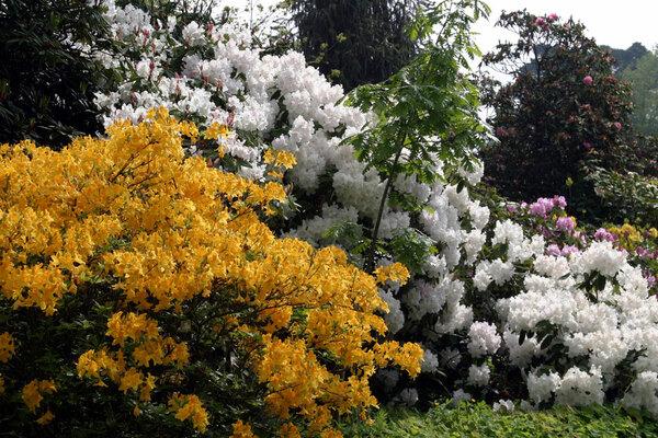 Azaleas, Borde Hill Garden