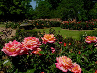 Medium tyler rose garden original