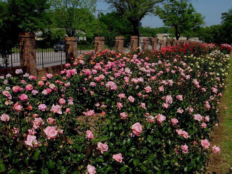Roses In Garden: Tyler Municipal Rose Garden