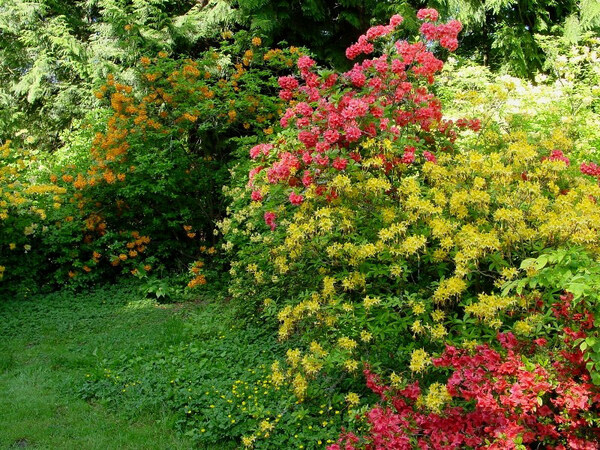 Azaleas, Washington Park Arboretum