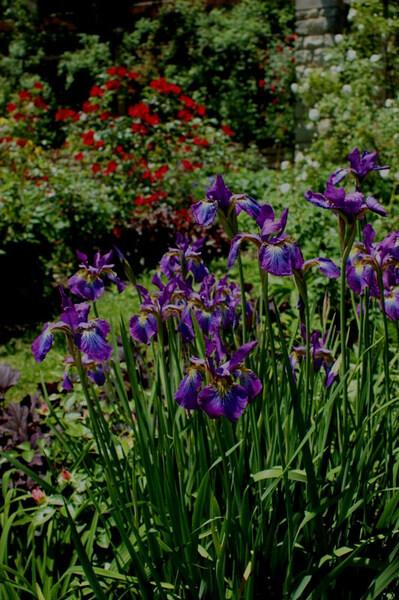 Iris sibirica, Wegerzyn Gardens
